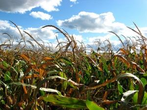 maiz-transgenico1